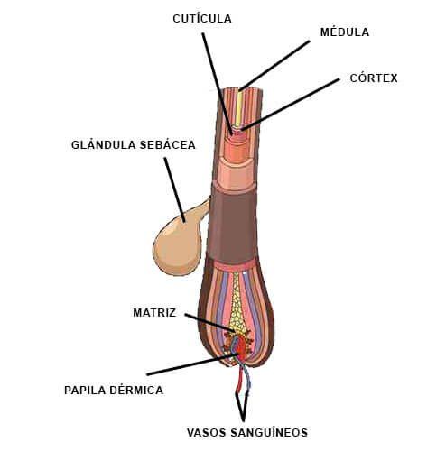 fases del pelo